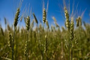 IJUê-RS, BRASIL, 17.10.11: Cultivo extensivo de trigo na regi‹o no Noroeste Colonial gaœcho.  Foto Eduardo Seidl/Pal‡cio Piratini